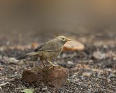 The Jungle Babbler Sitting On A Brick.the Jungle Babbler (argya Striata) Is A Member Of The Family L poster