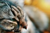 Striped Fluffy Cat. Portrait Of Brown Fluffy Cat Close Up In Profile poster