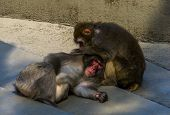 Japanese Macaque Couple Grooming Each Other In Closeup, Typical Social Primate Behavior, Tropical Mo poster