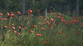 A Beautiful Small Bud Of Red Poppy Flower Sways In The Wind.huge Field Of Blossoming Poppies. Poppy  poster