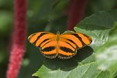 Butterfly-Banded Orange