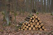 Winter Forest, No Snow, Yellow And Brow Leaves, Wood Piles Trees, Sawn Wood, Stacked Tree Trunks, Lu poster