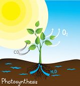 picture of photosynthesis  - photosynthesis vector image - JPG