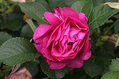 Pink Rose Hansa