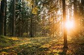 Beautiful Sunset Sunrise Sun Sunshine In Sunny Autumn Coniferous Forest. Sunlight Sunbeams Through W poster