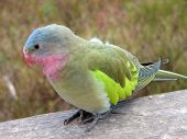 pic of king parrot  - parrot princess - JPG