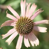 Pink daisy for  Success
