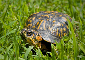 foto of the hare tortoise  - Box turtle sitting in a patch of grass - JPG