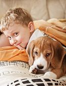 Beagle Puppy Lying In Bed With Boy