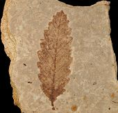stock photo of shale  - Fossil of leaf from Eocene Age - JPG