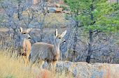 Mule Deer Doe With Yearling