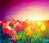 Tulip flowers field in artistic mood. Sunset purple pink sky.