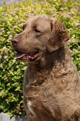 Chesapeake Bay Retriever en jardín