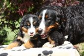Bernese Mountain Dog Bitch a retirar su cachorro