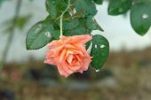 Water Dripping From A Peach Rose After Rain