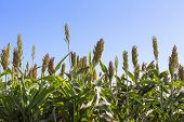 stock photo of sorghum  - Millet or Sorghum field with blue sky background - JPG