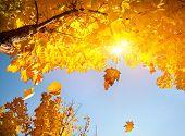Yellow Leaf Fall