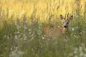 foto of roebuck  - Roebuck in the wild - JPG
