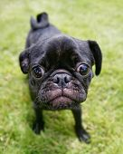 picture of pug  - a cute pug at a local park - JPG