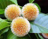 Kodom Flower Of Bangladesh