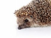 Portrait Of A Hedgehog