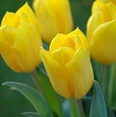 Flowers Tulips 3