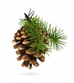 stock photo of conifers  - Pine cone with branch - JPG