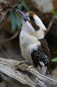 stock photo of kookaburra  - One happy kookaburra posing on a branch  - JPG