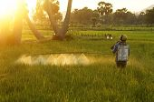 Farmer Spray Chemicals  On Rice Field At Sunset