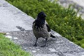 Hooded Crow On A Stone Parapet