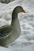 stock photo of snow goose  - Grey Goose from side, winter with snow