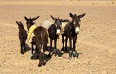 stock photo of horses ass  - Four donkeys standing in the Morrocco desert - JPG