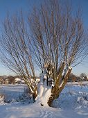 Snow Covered Pollard Willow At The Banks Of A Small Lake