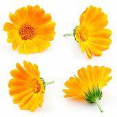 Marigold Flowers. Calendula. Flowers Isolated On White. Set