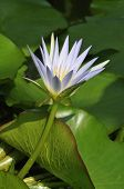 White Lotus Water Lily
