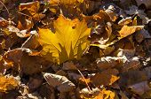 Sunlit golden autumnal foliage