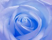 Soft Blue Rose poster