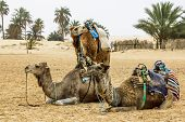Camels In The Sahara Desert, Tunisia, Africa