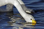 An adult Whooper Swan (Cygnus cygnus)feeding.