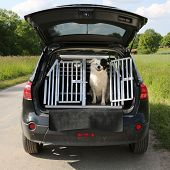 Dog Pet In A Car Wants To Travel
