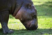 Pygmy hippopotamus grazing