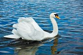 Mute Swan (Cygnus olor) in lake, Munich, Germany