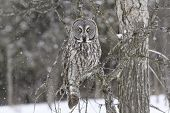image of snow owl  - Great Grey Owl in a snow storm - JPG