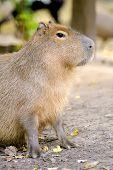 image of amphibious  - Closeup of a young capybara in nature - JPG