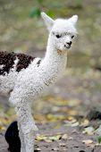 Young White Alpaca