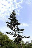 image of taper  - A slanting and tapering christmas tree reaching for sky