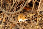 stock photo of field mouse  - field mouse in natural habitat - JPG