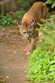 pic of cougar  - Close up big cougar in natural habitat - JPG