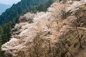 Cherry blossom scenery with beautiful sakura at Oku-Senbon of Yoshino, Nara, Japan, Asia.