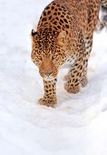 picture of snow-leopard  - Beautiful leopard on snow in winter day - JPG